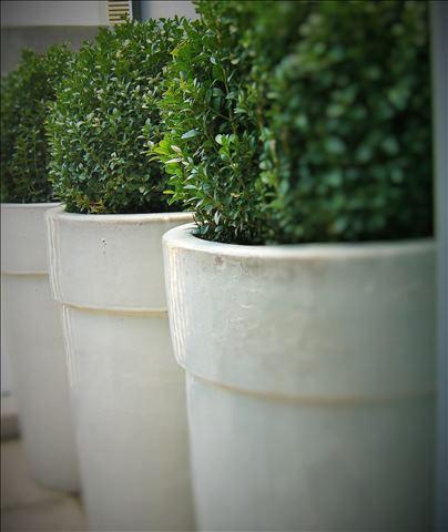Dachterrasse Buxus in Keramikvasen